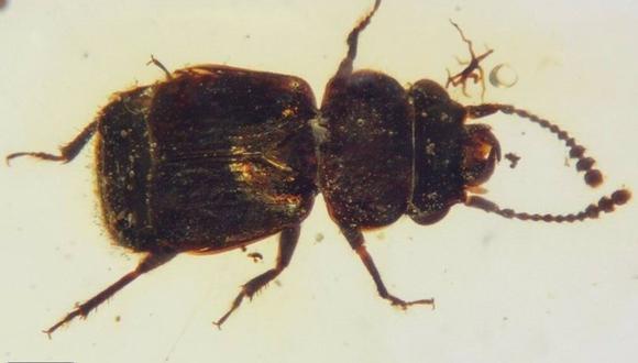 Vista dorsal de Pelretes vivificus, un escarabajo de las flores de alas cortas del Cretácico (Kateretidae) de ámbar birmano. (CHENYANG CAI, YANZHE FU AND YITONG SU)