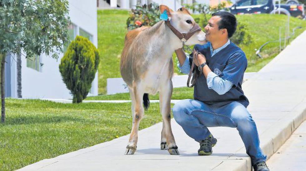 Primera vaca clonada del Perú nació en universidad de Amazonas - 1