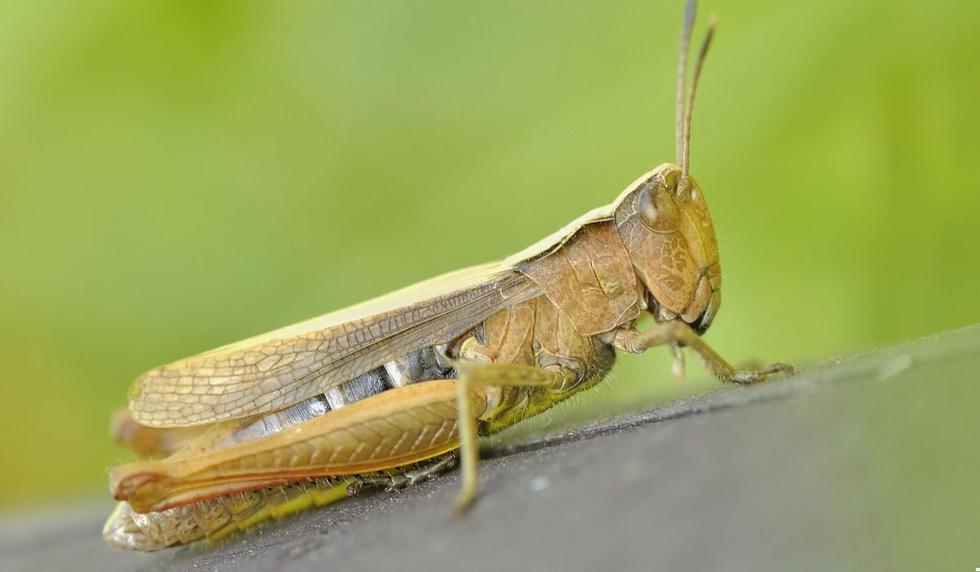 Los insectos se mueven rápidamente y amenazan cultivos. (Foto referencial: Pexels)