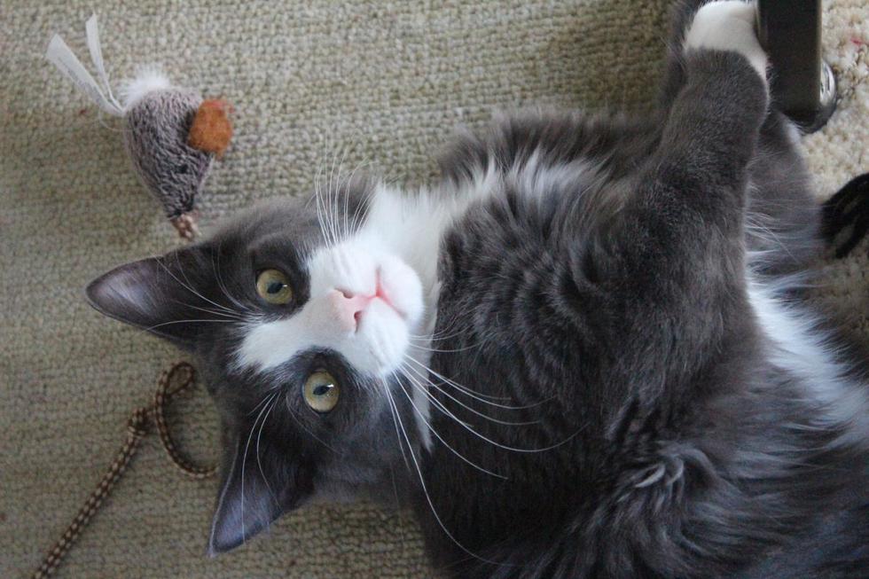 """Cuando el <ahref=""""[https://mag.elcomercio.pe/noticias/gatos/]"""">gato</a> está emocionado puede agarrarte de las manos o pies, pero debes enseñarle a """"cazar"""" sus juguetes. Los de pesca sobre cuerdas, un puntero láser o un ratón con hierba gatera son buena opción. Así tus dedos estarán lejos y no los podrá morder, hecho que hace por diversión.  (Foto: Monika Designs / Pixabay)"""
