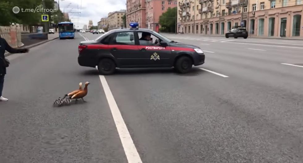 Los agentes de la Guardia Nacional de Rusia detuvieron el tráfico para que las aves puedan cruzar con tranquilidad la calle. (Foto: Captura Facebook)