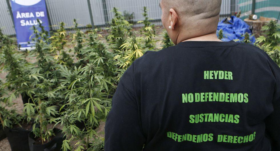 Chile realizó primera cosecha legal de marihuana de la región - 4