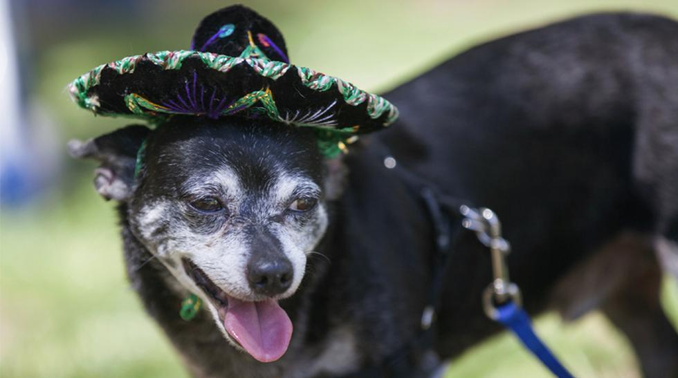 Mira a estos chihuahuas celebrar el Cinco de Mayo en ...