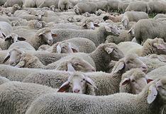 Hombre decide dejar abierta la reja de su patio trasero y al despertar se topa con cientos de ovejas