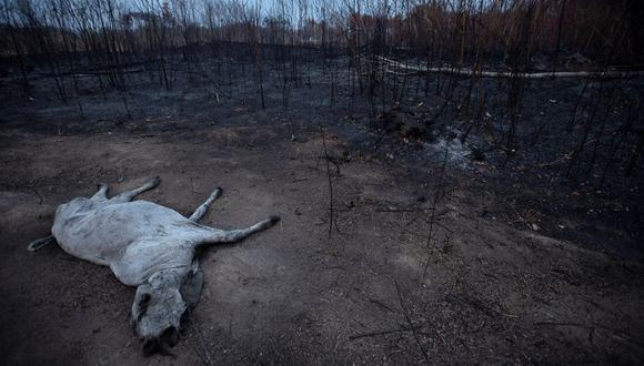 Un animal bovino yace muerto junto a una zona consumida por las llamas este sábado 24 de agosto, cerca de Porto Velho, en Brasil. (Foto: Brasil)
