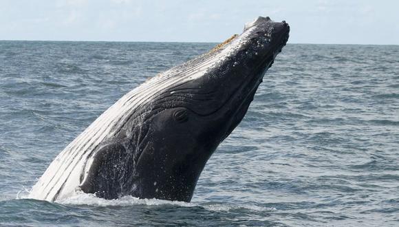 Miles de turistas son testigos del arribo de 20 mil ballenas jorobadas a las costas de Bahía, Brasil. (Foto: EFE)