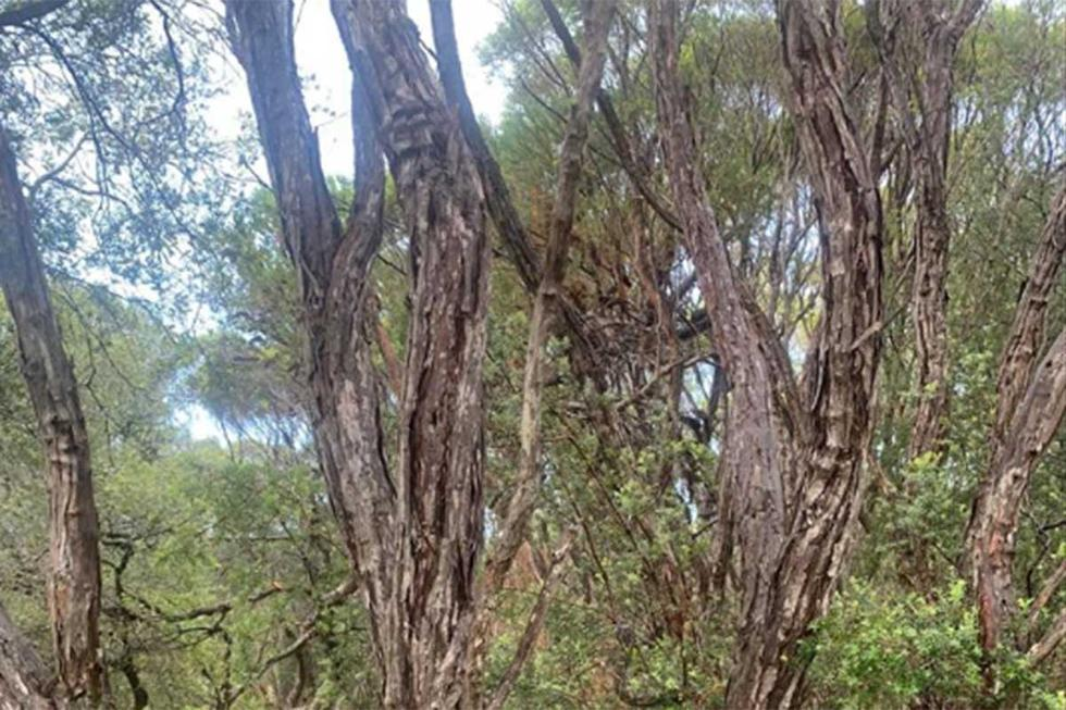 ¿Logras ver la serpiente camuflada entre la espesura de los árboles?| Foto: Snake Catcher Northern Rivers 24/7