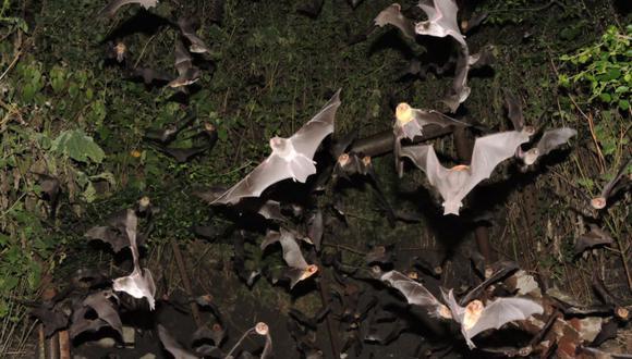 El Proyecto Sonozotz permitió grabar los llamados de ecolocalización de 1664 ejemplares de murciélagos pertenecientes a 69 especies. Foto: Emmanuel Solis.