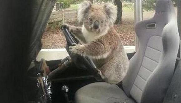 """Insólito: Koala trata de """"robar"""" una Land Rover"""