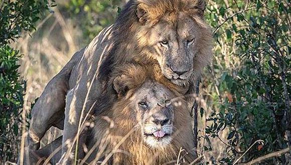 En los animales no es extraño ver este tipo de conductas, pero su significado tiene que ver mayormente con matices jerárquicos o de reconocimiento. (Foto: Twitter)