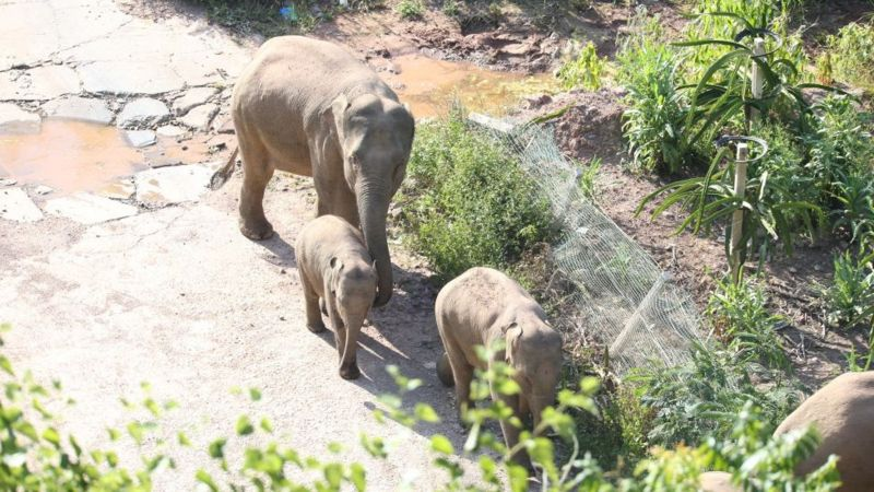 The herd walks with three baby elephants. (Getty Images).
