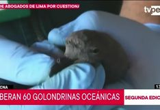 Más de 50 golondrinas oceánicas son liberadas en Tacna