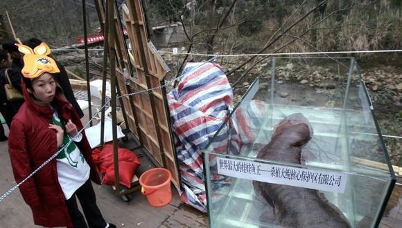 Salamandra gigante de China. (AFP)