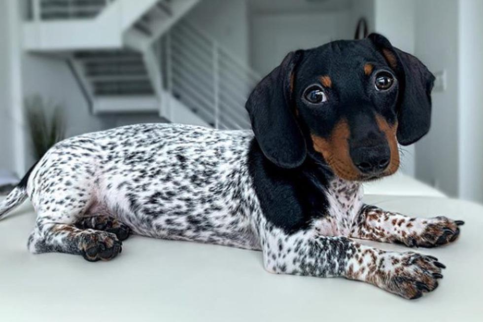 Foto 1 de 5 | El perro ha causado sensación en redes sociales por su apariencia. (Instagram: moo_in_miami)