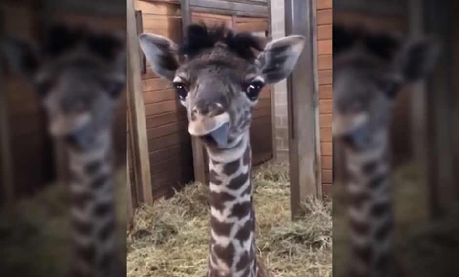 El video de la pequeña jirafa tiene más de 13 reproducciones en cuatro días. Los usuarios han en Estados Unidos han quedado prendados del pequeño animal. (Facebook)