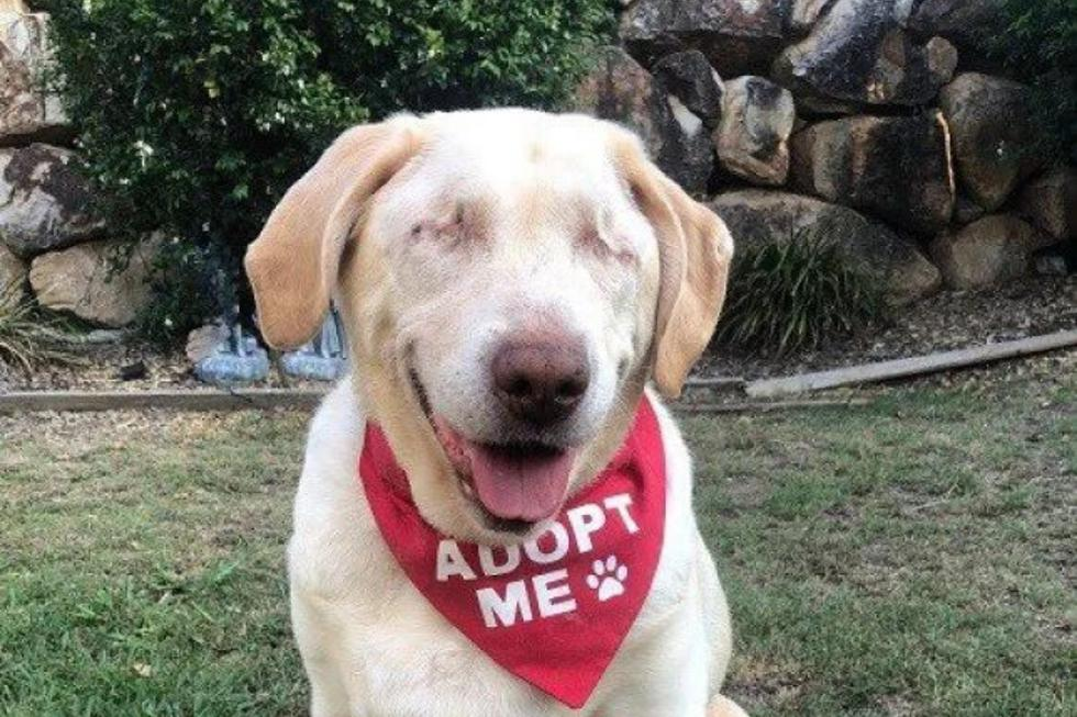 Una perrita ciega que fue abandonada a su suerte pudo encontrar a una familia que le diera el hogar que tanto se merecía. (Foto: Labrador Rescue en Facebook)