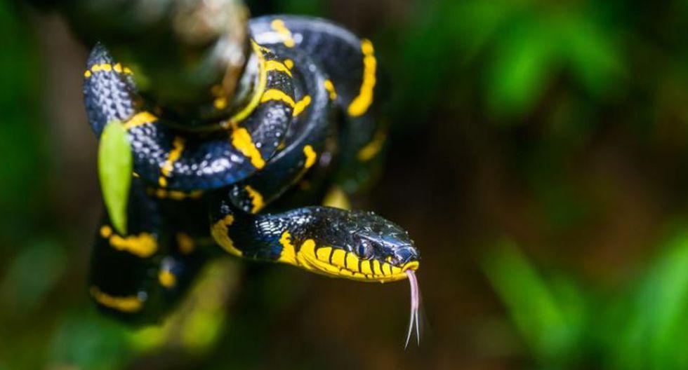 El veneno de las serpientes de mangle puede causar hinchazón dolorosa y decoloración de la piel. (Foto: Thai National Parks)