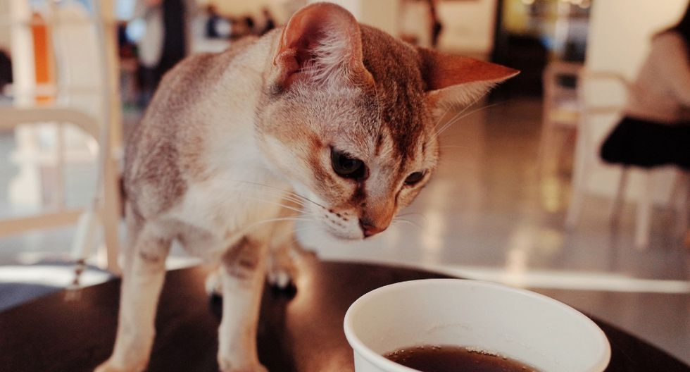 El fenómeno de los 'cat cafés' empezó a fines de la década de los 90. (Foto: Referencial - Pixabay)