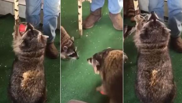 Se ha hecho viral el video de un mapache mientras anota algunos puntos de baloncesto. Las imágenes fueron compartidas en YouTube. (Foto: captura de video)