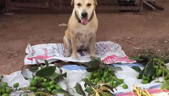Conoce a Cream, el perrito que se hizo viral en redes sociales por 'vender' frutas en las calles | Foto: Captura de video YouTube / Viral Press