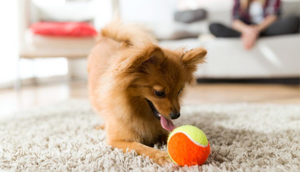 El pelaje de las mascotas tiende a transportar ácaros y partículas de polvo. Esto puede ocasionar que dichas esporas se acumulen rápidamente dentro de tu hogar. (Foto: Shutterstock)