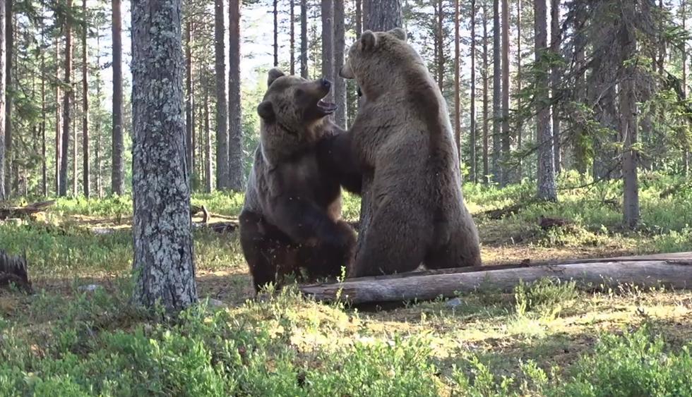 """Captan desde un escondite """"la mejor pelea de osos de la historia"""". El video es viral en Facebook. (Tero Pylkkänen)"""