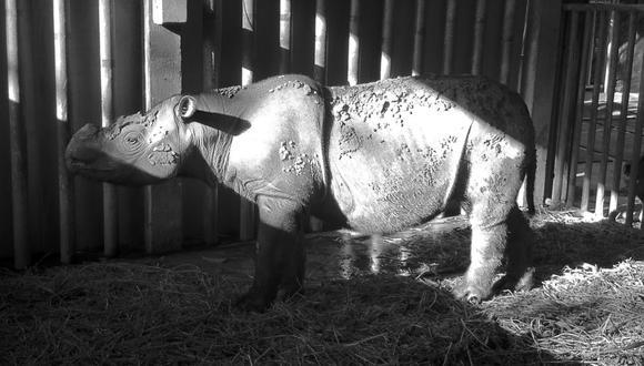 Iman es el quinto rinoceronte de Sumatra que ha fallecido en los últimos 5 años. (Foto: Facebook/@BORAborneorhinoalliance)