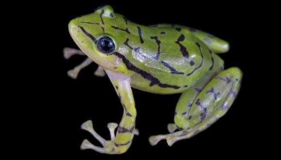 La rana de lluvia ecuatoriana es presentada en sociedad