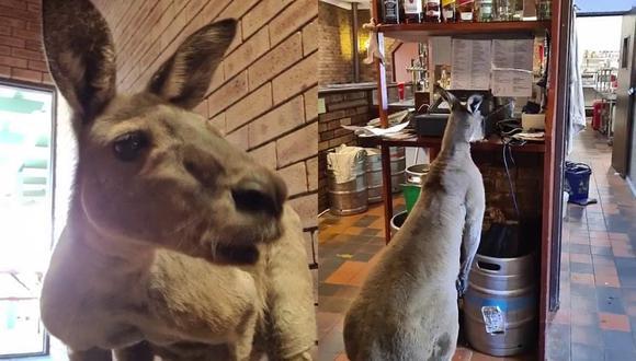 'Matt' el canguro suele ser visto saltando y olfateando por el bar John Forrest Wildflower Tavern, conocido por atraer a diversos ejemplares de la vida silvestre australiana. | Crédito: @cardqueenkatie / TikTok