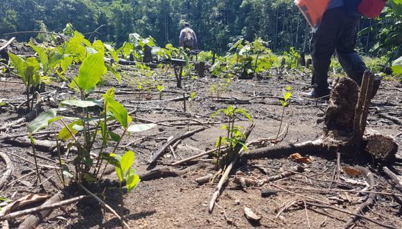 Cultivo ilegal de coca en el parque nacional Amboró, cerca del río Yapacaní. Foto: EL DEBER