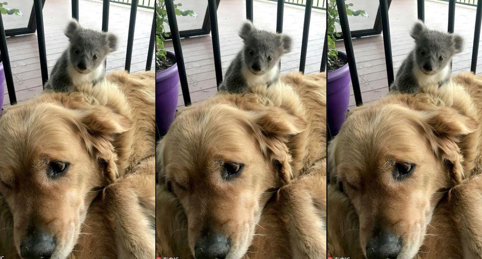 Bebé koala se acurruca en el lomo de una cachorra y desata ternura en redes.