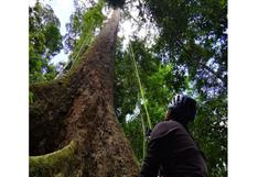 ¿Dónde está el árbol más alto del mundo y qué se hace con su madera?
