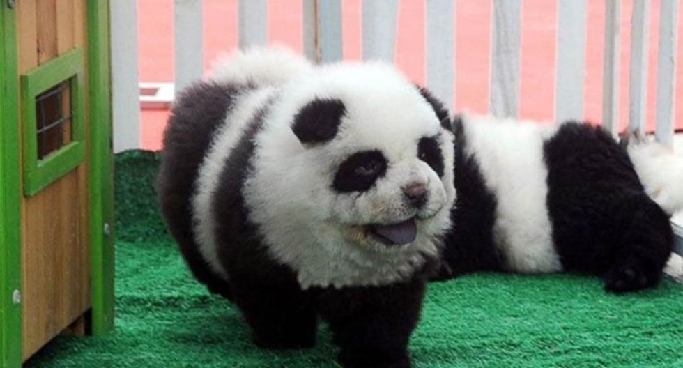 Los perros panda o pandogs son la última sensación de mascotas en China. | Foto: @12News