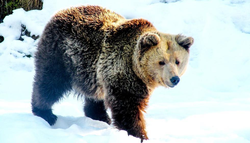 Este pequeño oso no conoce el significado de la palabra rendirse. (Foto: Pixabay)