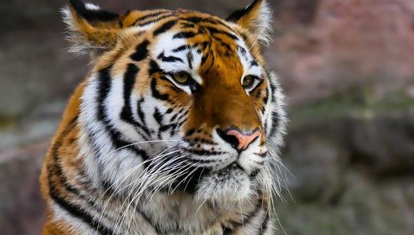El tigre terminó con las patas traseras completamente mojadas. El video de lo que sucedió tiene cientos de reproducciones en Twitter. (Foto referencial - Pexels)