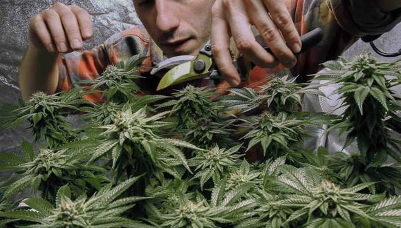 En esta fotografía de archivo del 13 de diciembre de 2017, James MacWilliams poda una planta de marihuana que está cultivando en interiores en Portland, Maine. (AP Photo / Robert F. Bukaty, archivo).