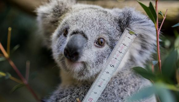 A young koala is measured during the annual stock take at the zoo in Duisburg, western Germany on January 9, 2019. (Photo by Rolf Vennenbernd / dpa / AFP) / Germany OUT