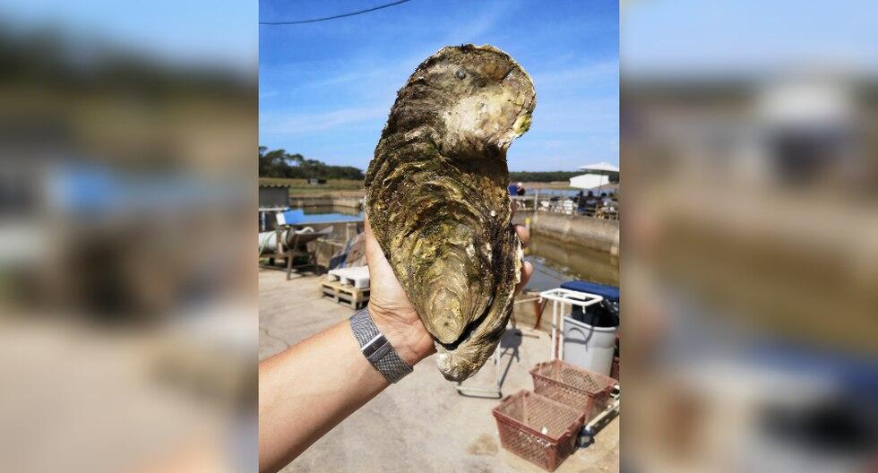 La ostra, que tendría entre 13 y 15 años, fue devuelta posteriormente al agua. (Foto: AFP)