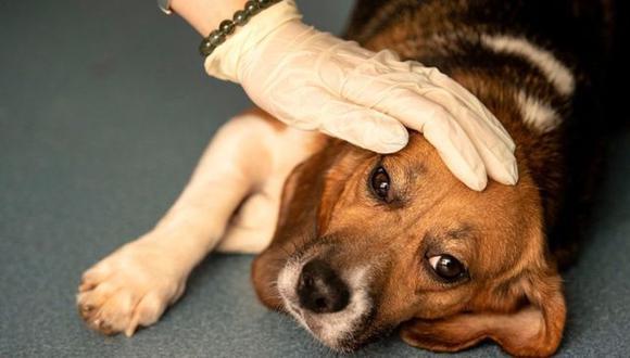 Los perros que han sido atacados por la enfermedad presentan síntomas severos de diarrea y vómitos. Foto: AFP, vía BBC Mundo