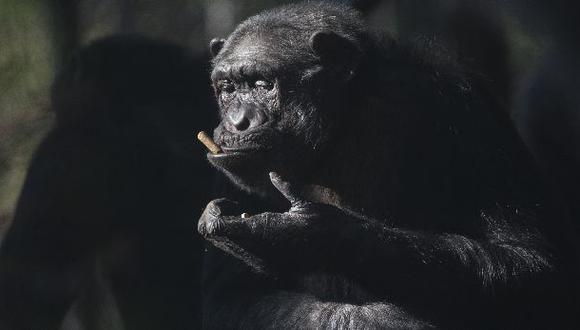 Nueva vacuna oral contra el ébola es eficaz en chimpancés