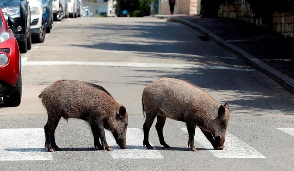 Los jabalíes cruzan una carretera en una zona residencial después de que el gobierno ordenó cuarentena por coronavirus (COVID-19), en Haifa, norte de Israel. (Foto: Reuters/Ronen Zvu)