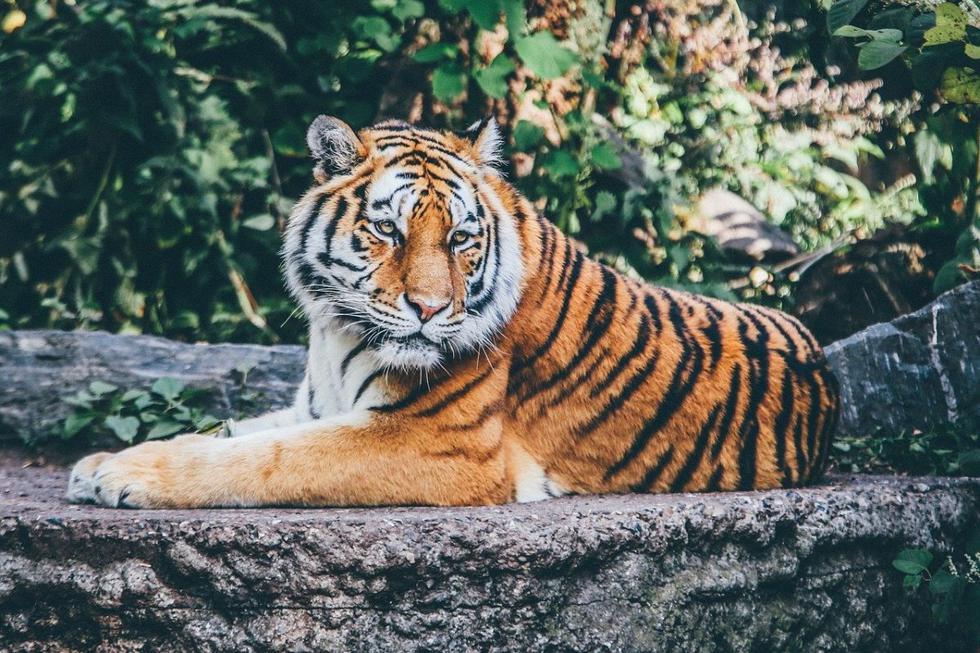Tigre asusta a vecinos en vecindario y llaman a la policía. (Foto: Pixabay)