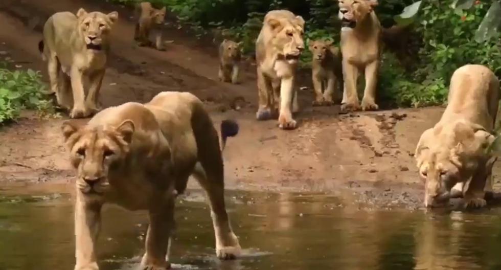 FOTO 1 DE 5 | Un video viral muestra el majestuoso paso de una manada de leones por un claro de la jungla. | Crédito: @ParveenKaswan / Twitter. (Desliza a la izquierda para ver más fotos)