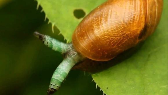 El broodsac verde tomó el control de este caracol con aspecto llamativo. (Fuente: Difusión)