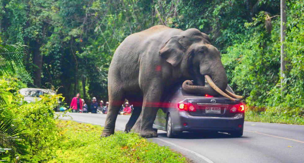 Un elefante salvaje detiene un auto en una carretera de Nakhon Ratchasima, en Tailandia. El conductor escapó ileso con su automóvil ligeramente dañado. (Foto: Pratya Chutipaskul/AFP)