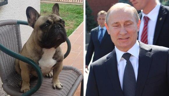 El bulldog francés llamado en honor al presidente ruso fue robado de su casa por un vendedor de comida y vendido a una pareja que reside en el interior de Bolivia. (Foto: De los Kudelka Bulldog Francés/Pixabay)