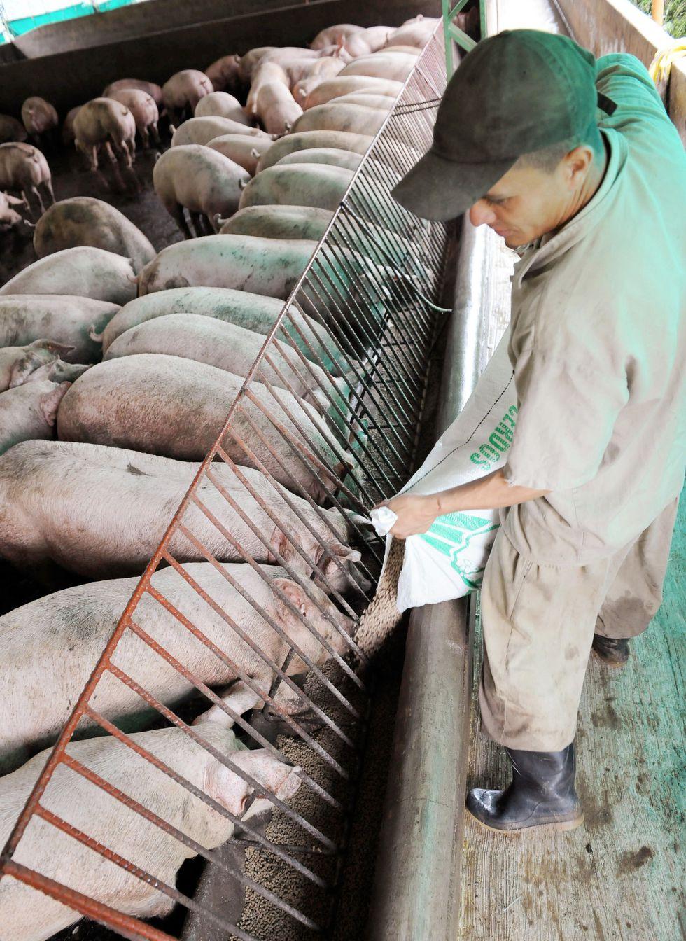 El evento 201 simuló un brote de un nuevo coronavirus zoonótico transmitido de murciélagos a cerdos y de cerdos a personas. Foto referencial: AFP PHOTO/ Raul ARBOLEDA
