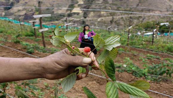 La producción de frambuesas en Cañaris está dirigida al mercado nacional y se está proyectando hacia el mercado extranjero. (Foto: Wilfredo Sandoval / El Comercio)