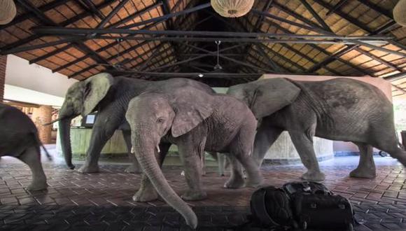 Elefantes atraviesan hotel para llegar a árbol de mangos