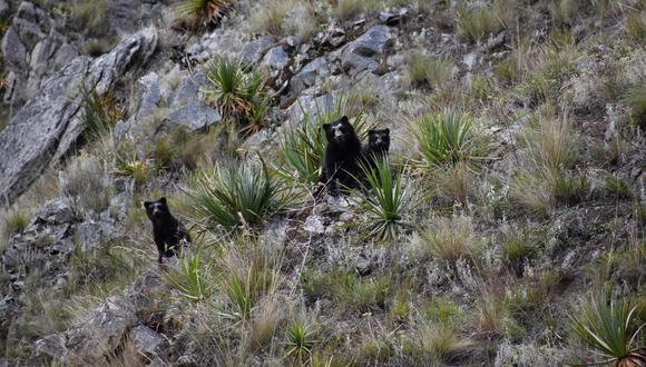 Los avistamientos de osos andinos en el Santuario Histórico de Machu Picchu son una evidencia de que el bosque está sano en esa zona. (Foto: Sernanp)